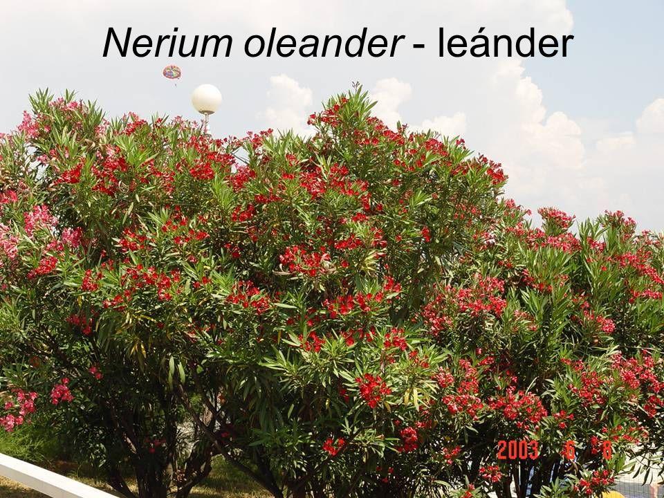 Nerium oleander - leánder