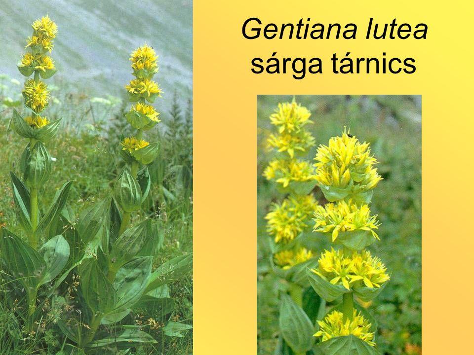 Gentiana lutea sárga tárnics