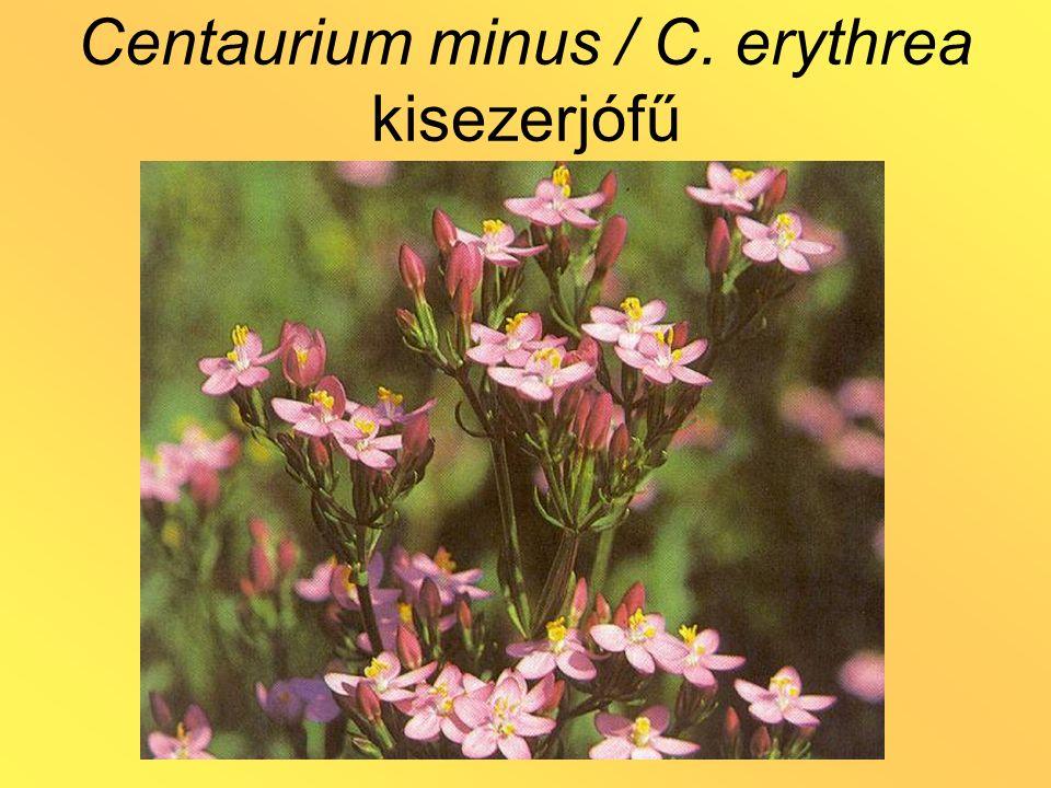 Centaurium minus / C. erythrea kisezerjófű