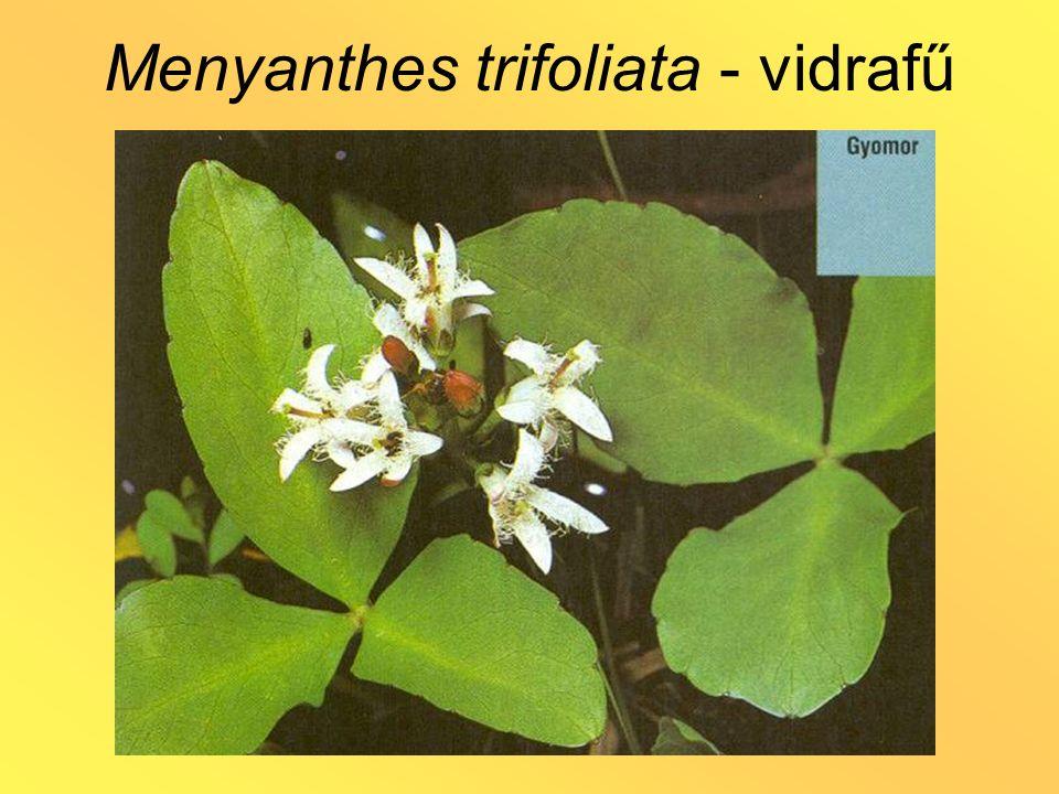 Menyanthes trifoliata - vidrafű