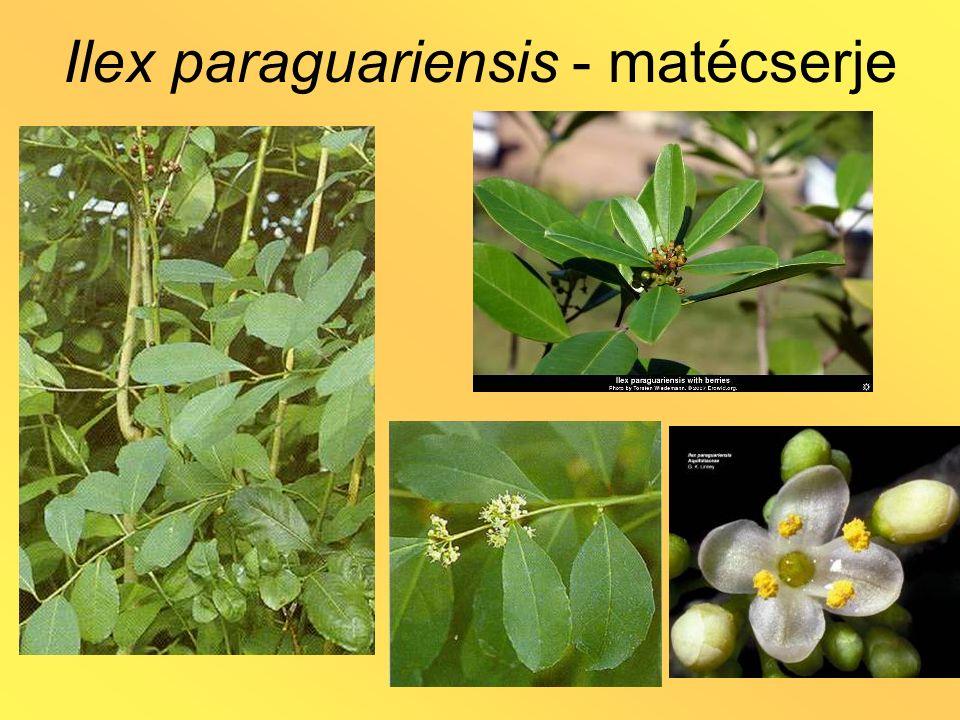 Rauwolfia serpentina - kígyógyökér HA.: alkaloidok Pl.