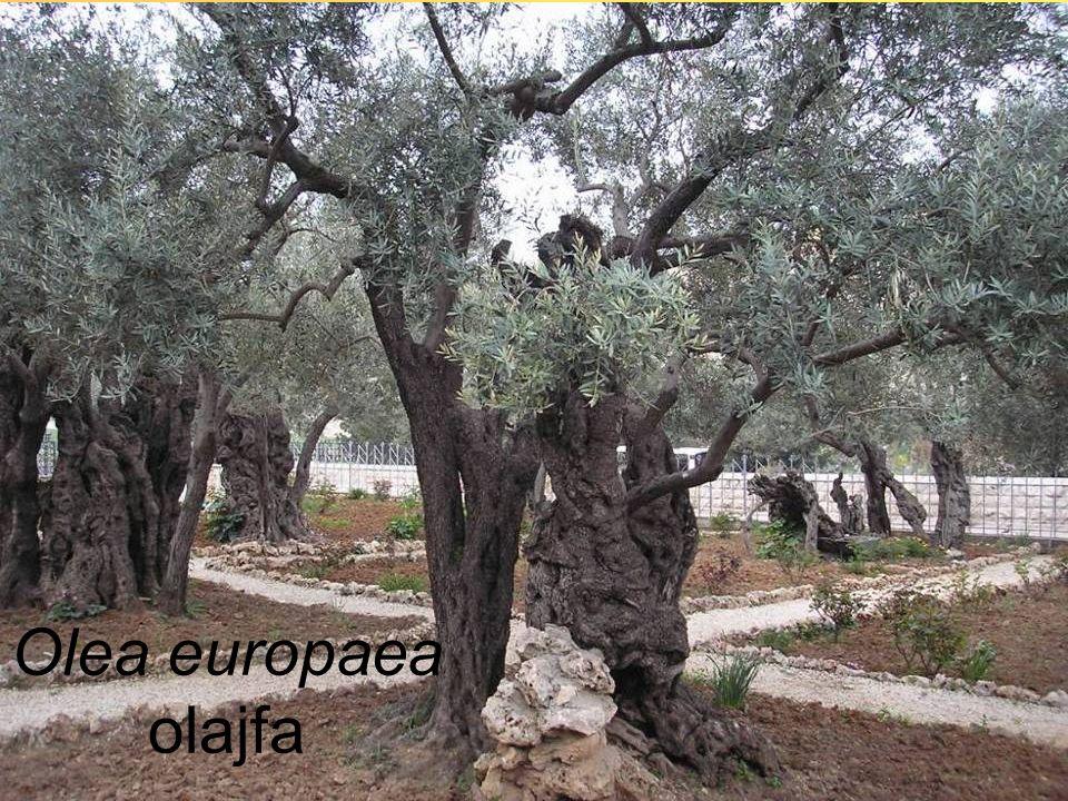 Olea europaea olajfa