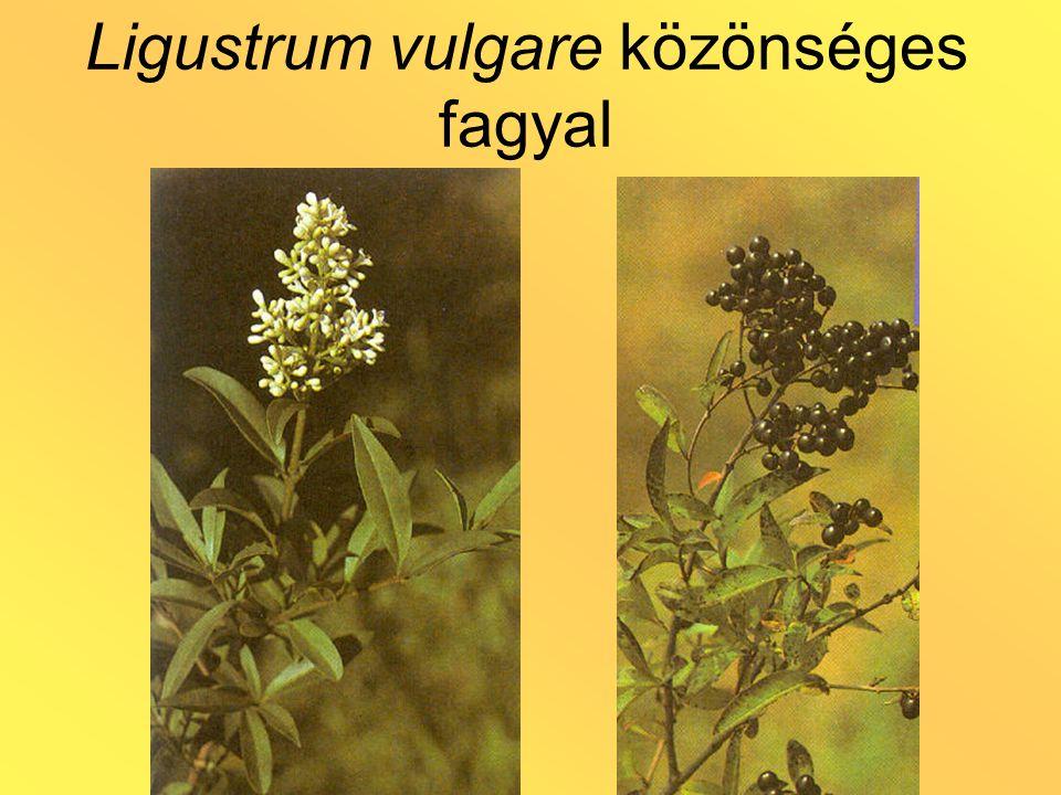 Ligustrum vulgare közönséges fagyal