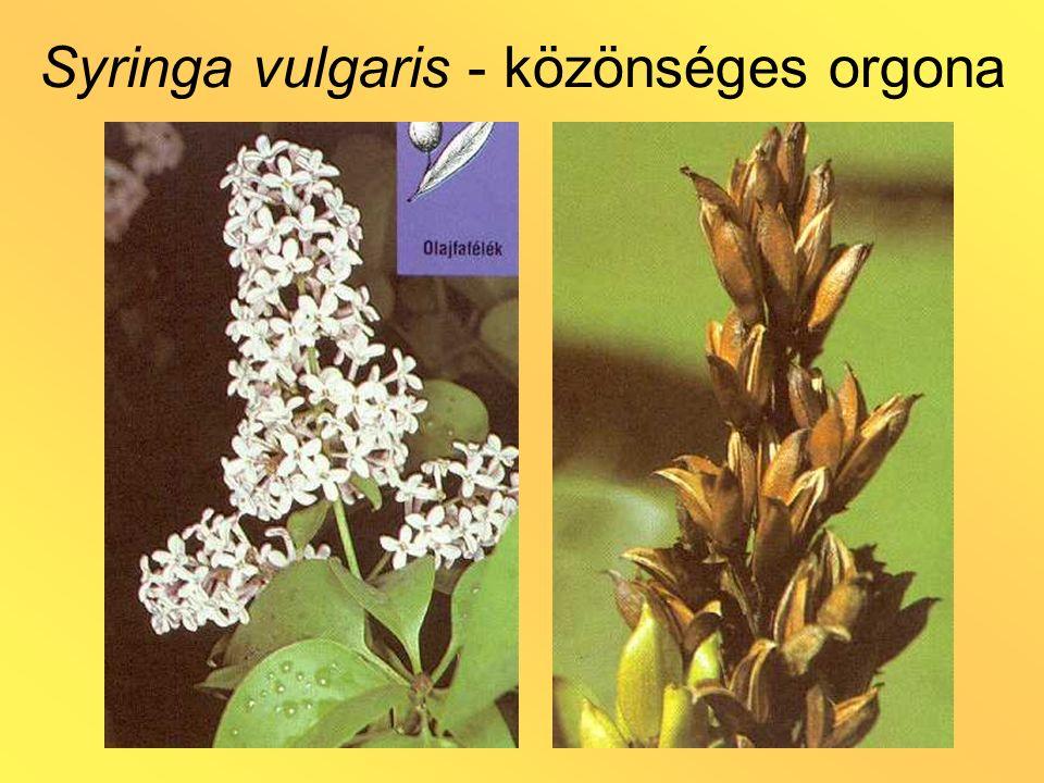 Syringa vulgaris - közönséges orgona