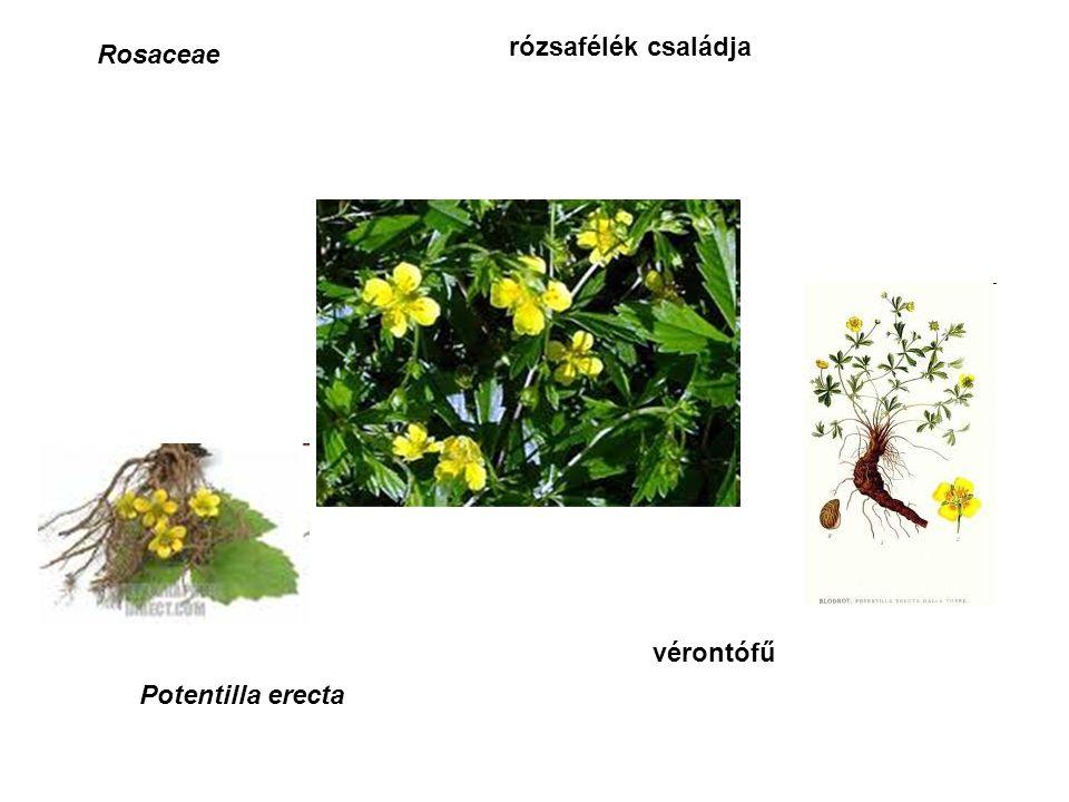 Rosaceae rózsafélék családja vérontófű Potentilla erecta