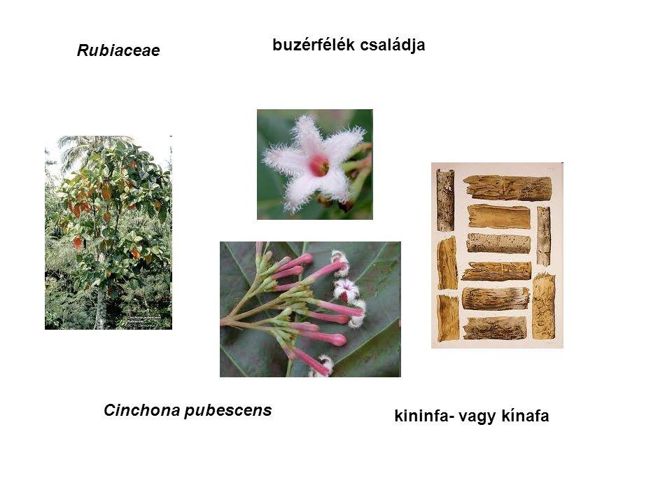 Rubiaceae buzérfélék családja Cinchona pubescens kininfa- vagy kínafa