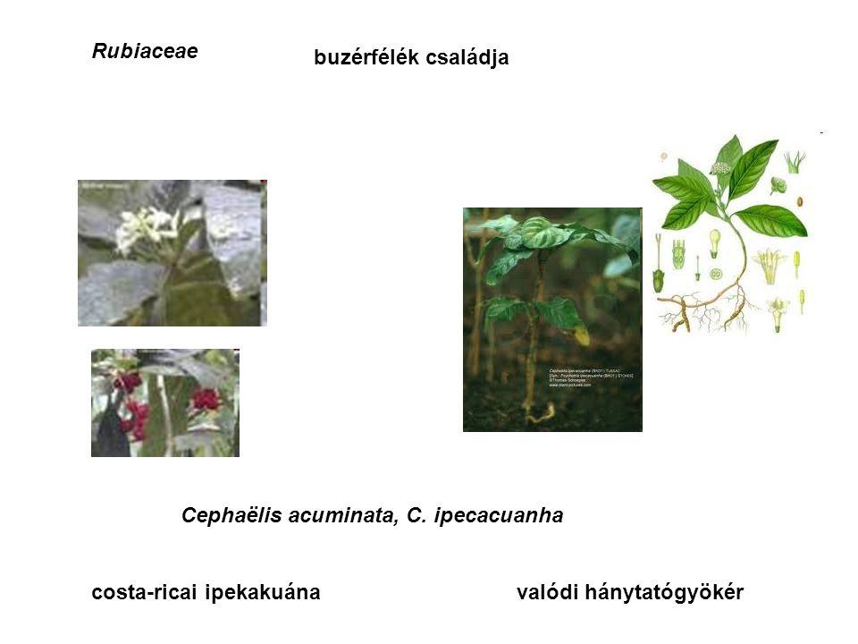 Rubiaceae buzérfélék családja Cephaëlis acuminata, C.