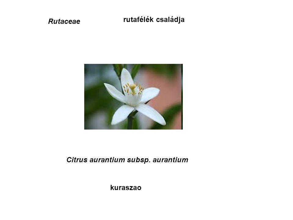 Rutaceae rutafélék családja kuraszao Citrus aurantium subsp. aurantium