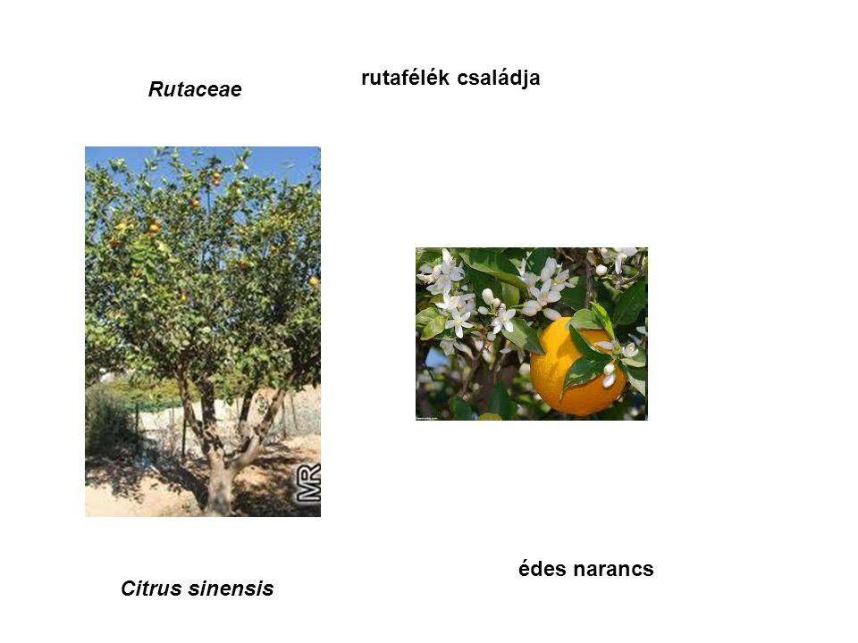 Rutaceae rutafélék családja Citrus sinensis édes narancs