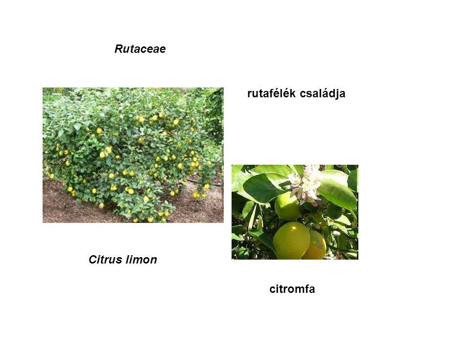 Rutaceae rutafélék családja Citrus limon citromfa