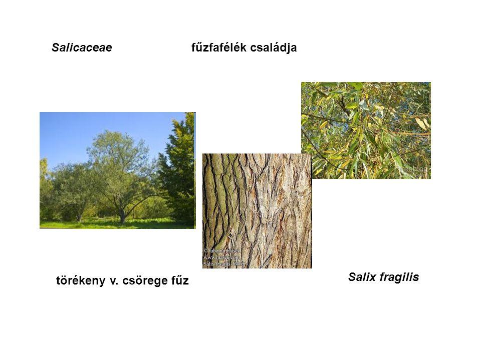 Salicaceaefűzfafélék családja Salix fragilis törékeny v. csörege fűz