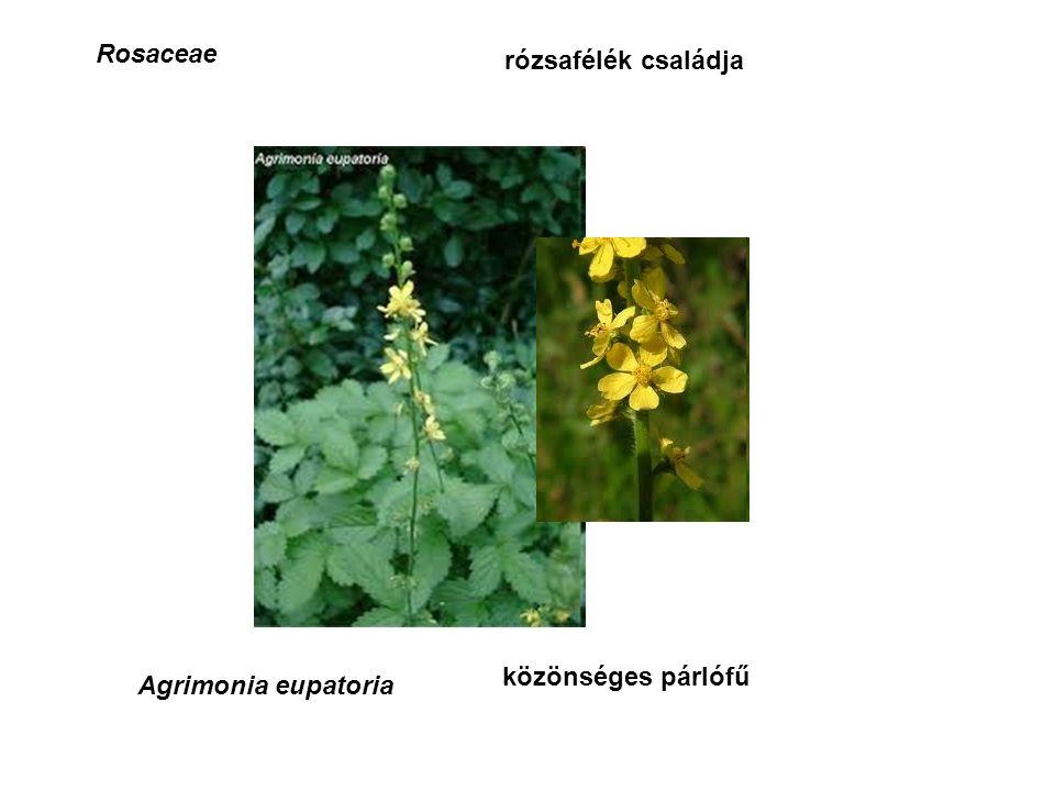 Rosaceae rózsafélék családja Agrimonia eupatoria közönséges párlófű