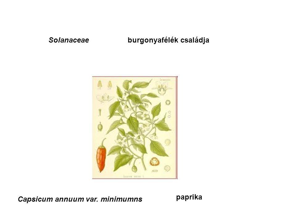 Solanaceaeburgonyafélék családja Capsicum annuum var. minimumns paprika
