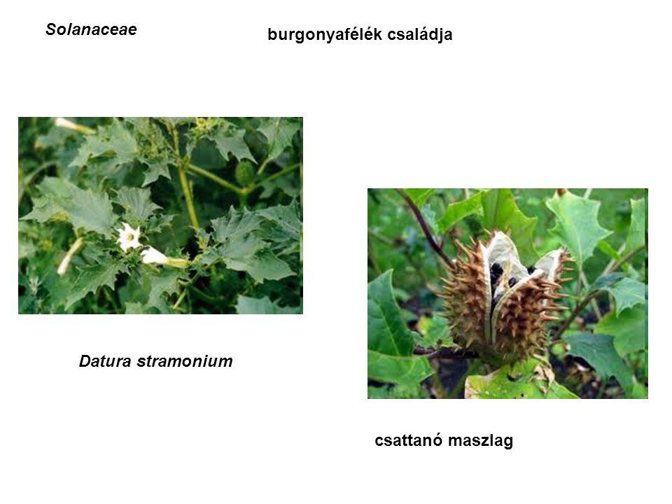 Solanaceae burgonyafélék családja Datura stramonium csattanó maszlag