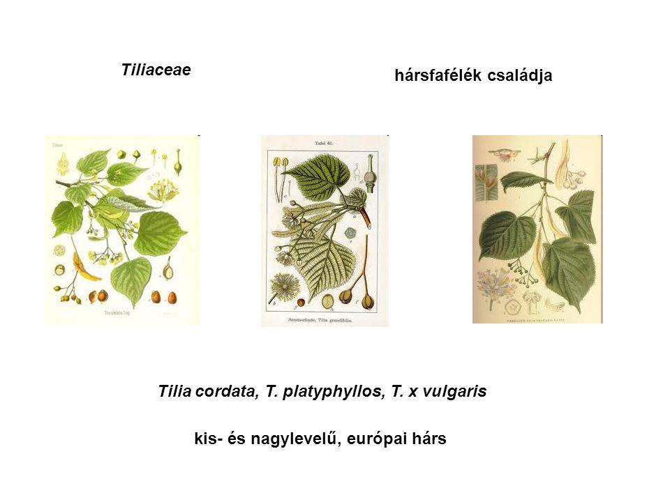 Tiliaceae Tilia cordata, T. platyphyllos, T.