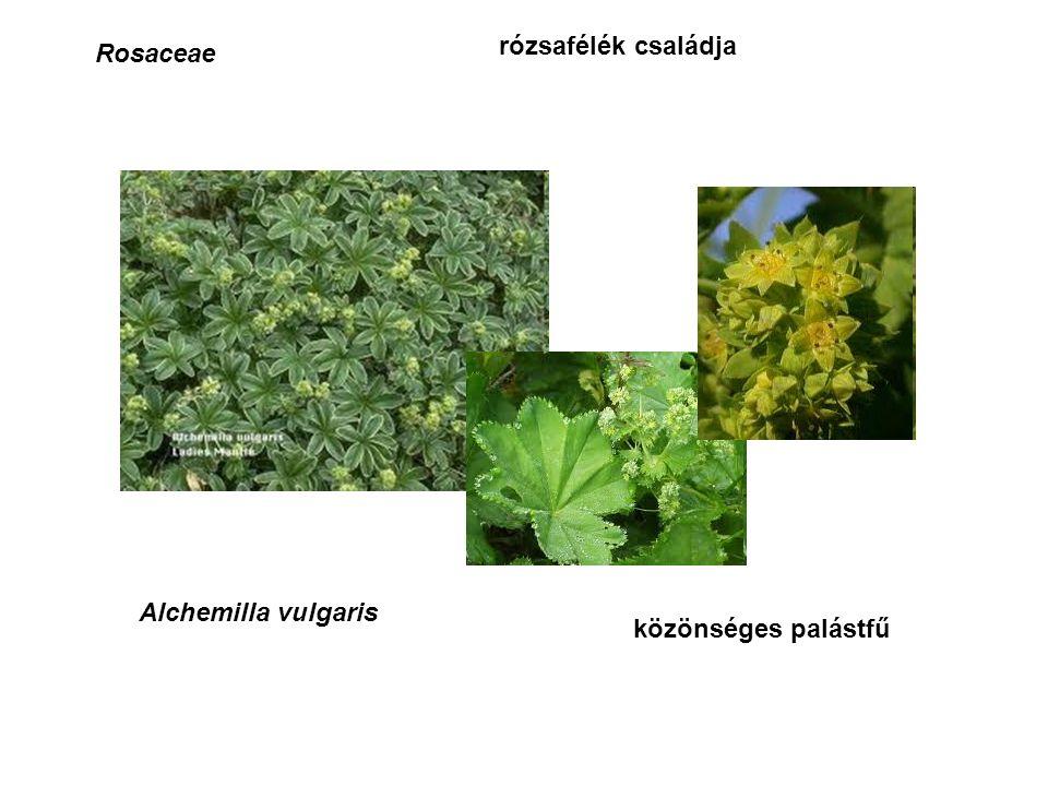 Rosaceae rózsafélék családja Alchemilla vulgaris közönséges palástfű