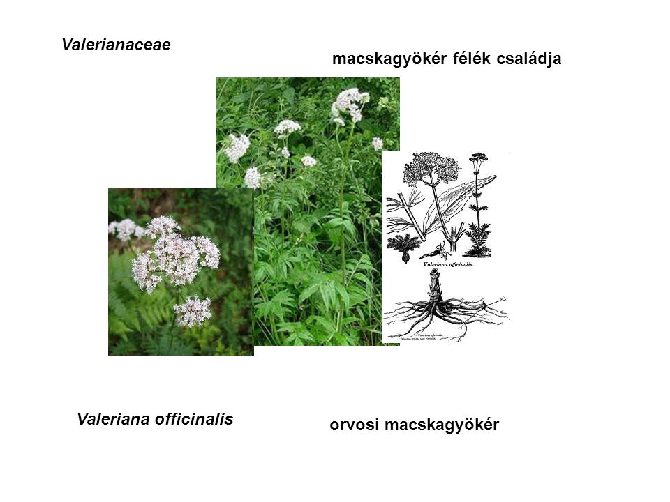 Valerianaceae macskagyökér félék családja Valeriana officinalis orvosi macskagyökér