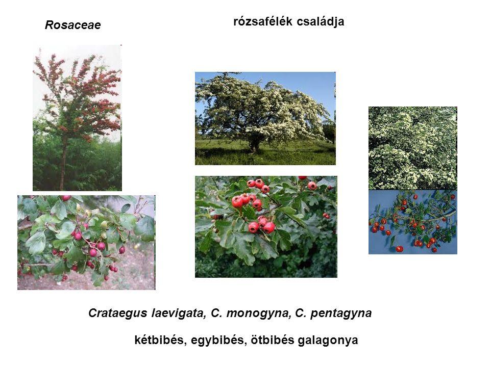 Sterculiaceaekakaófélék családja Cola acuminata, C. nitida kóladió abata cola