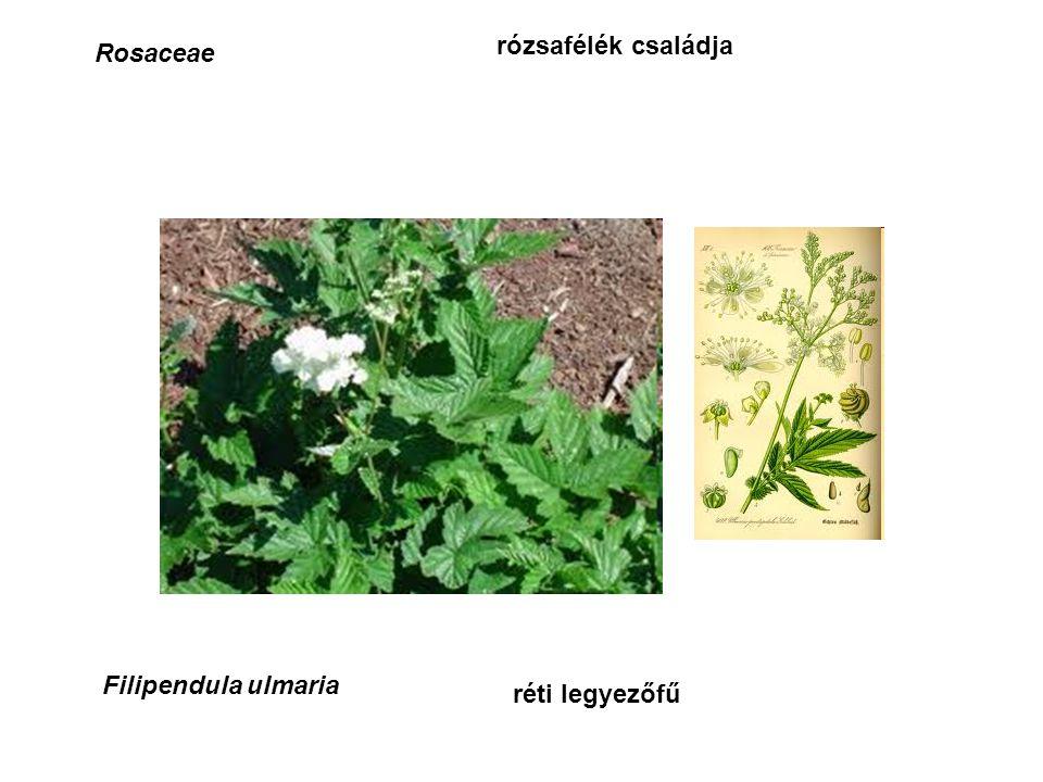 Rosaceae rózsafélék családja Filipendula ulmaria réti legyezőfű