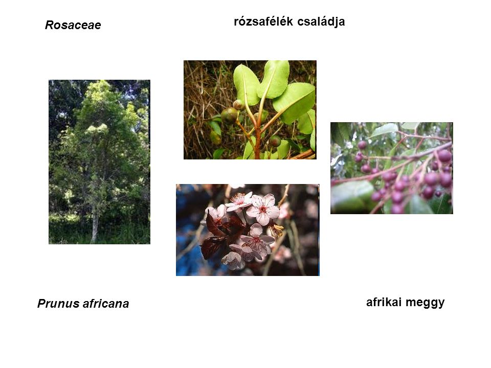 Rosaceae rózsafélék családja Prunus africana afrikai meggy