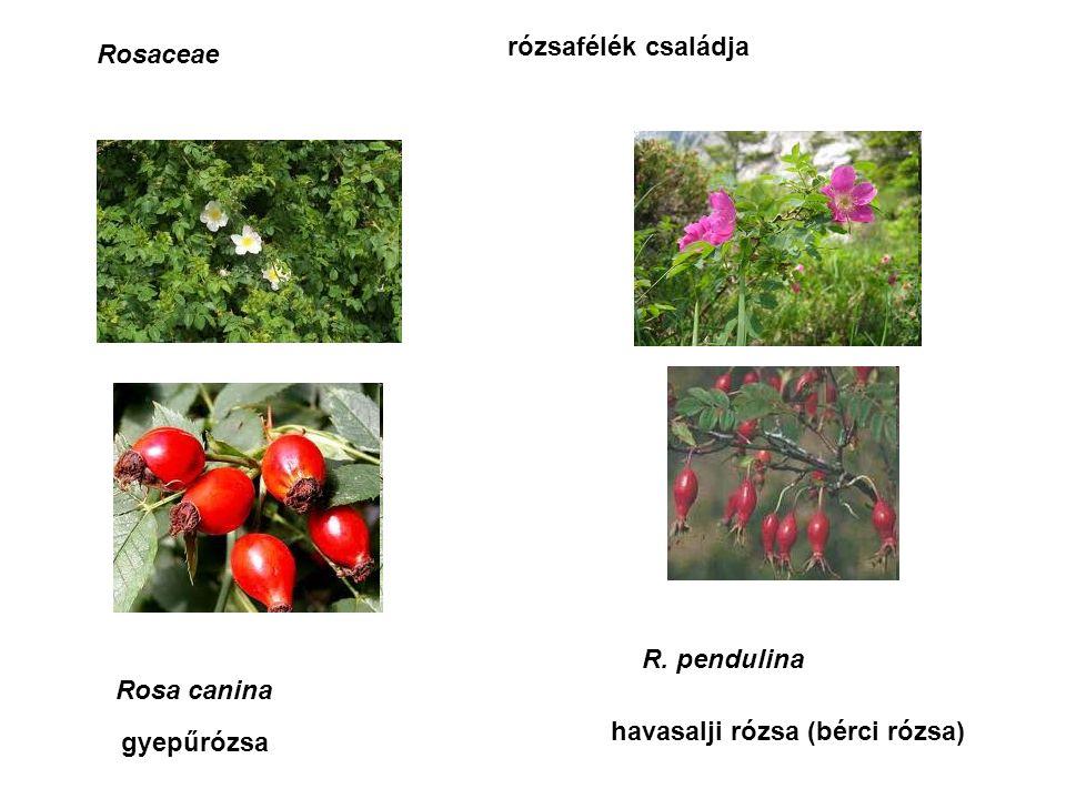 Tiliaceae Tilia cordata, T.platyphyllos, T.
