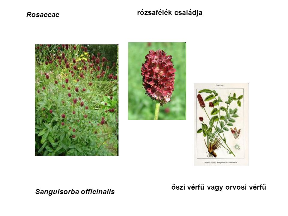 Rosaceae rózsafélék családja Sanguisorba officinalis őszi vérfű vagy orvosi vérfű