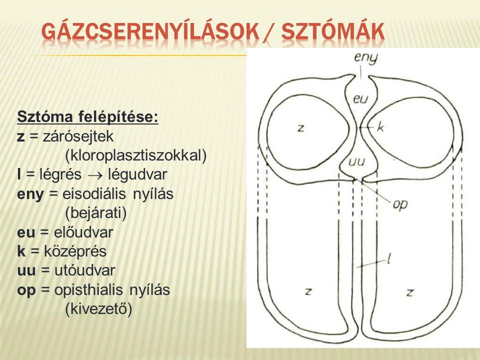 Sztóma felépítése: z = zárósejtek (kloroplasztiszokkal) l = légrés  légudvar eny = eisodiális nyílás (bejárati) eu = előudvar k = középrés uu = utóudvar op = opisthialis nyílás (kivezető)