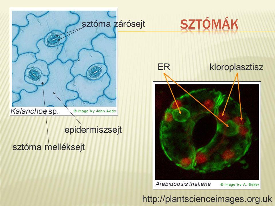 http://plantscienceimages.org.uk epidermiszsejt sztóma melléksejt sztóma zárósejt ERkloroplasztisz Kalanchoe sp. Arabidopsis thaliana