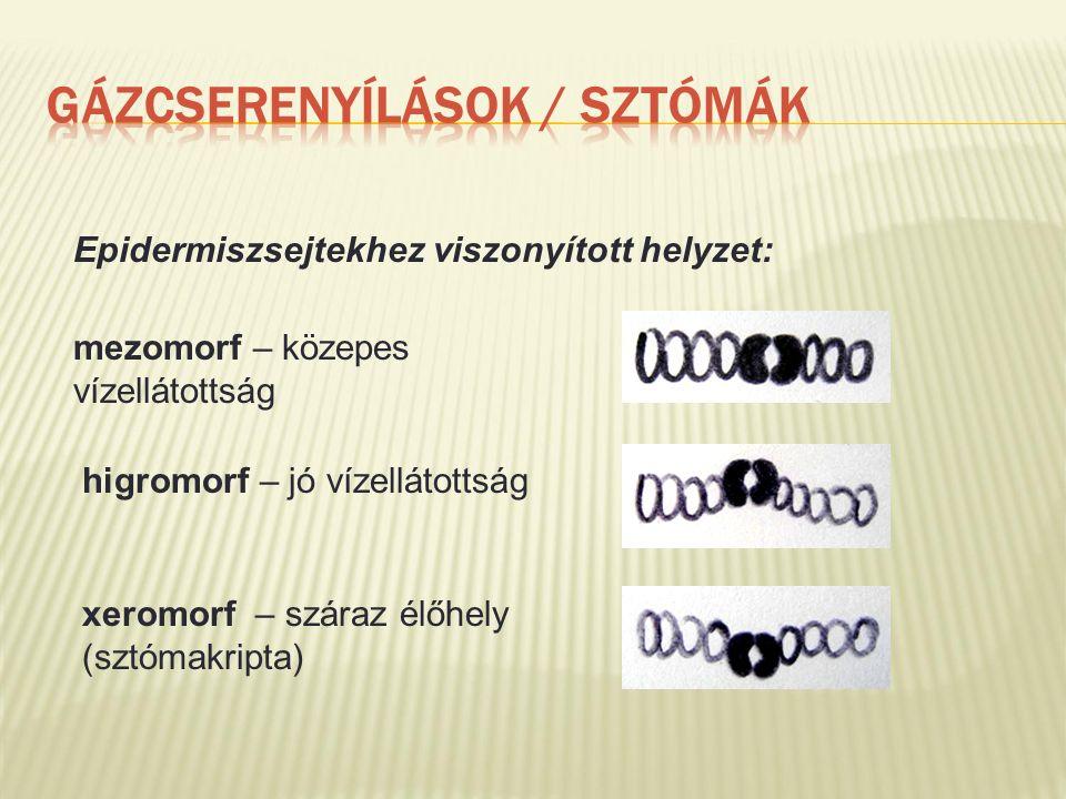 Epidermiszsejtekhez viszonyított helyzet: mezomorf – közepes vízellátottság higromorf – jó vízellátottság xeromorf – száraz élőhely (sztómakripta)