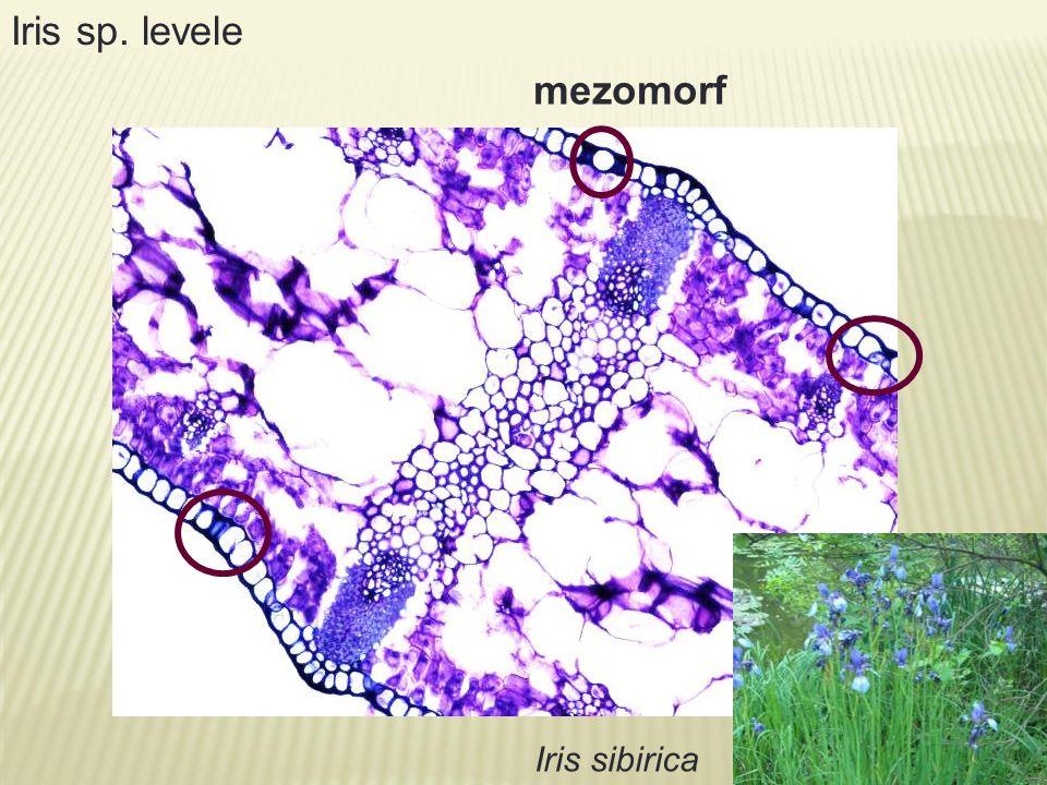 mezomorf Iris sp. levele Iris sibirica