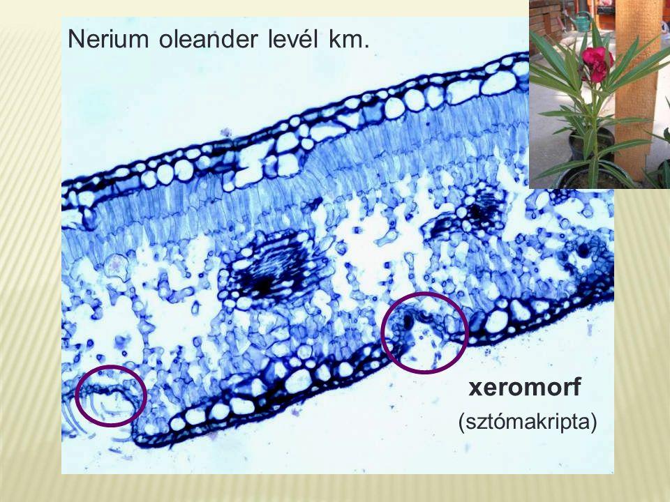 Nerium oleander levél km. xeromorf (sztómakripta)