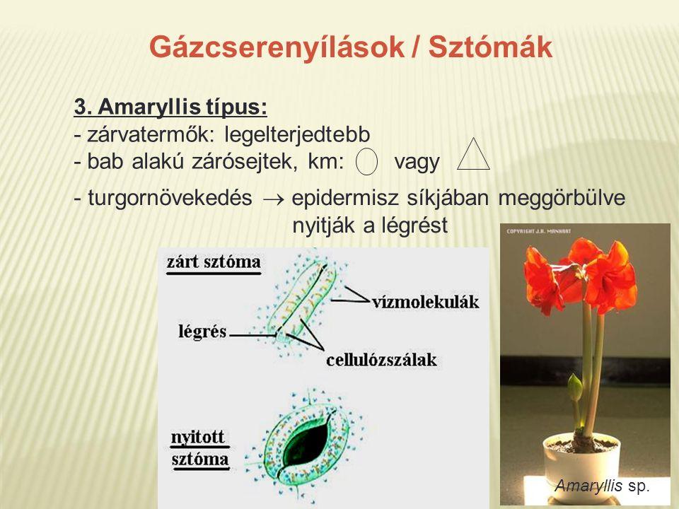 Gázcserenyílások / Sztómák 3. Amaryllis típus: - zárvatermők: legelterjedtebb - bab alakú zárósejtek, km: vagy - turgornövekedés  epidermisz síkjában