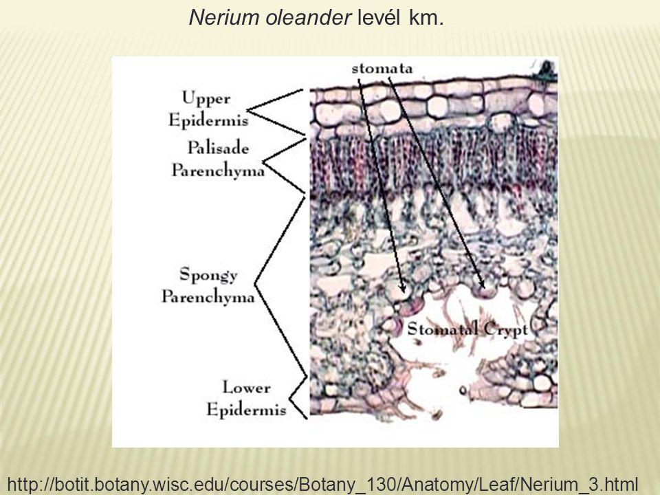 Nerium oleander levél km. http://botit.botany.wisc.edu/courses/Botany_130/Anatomy/Leaf/Nerium_3.html