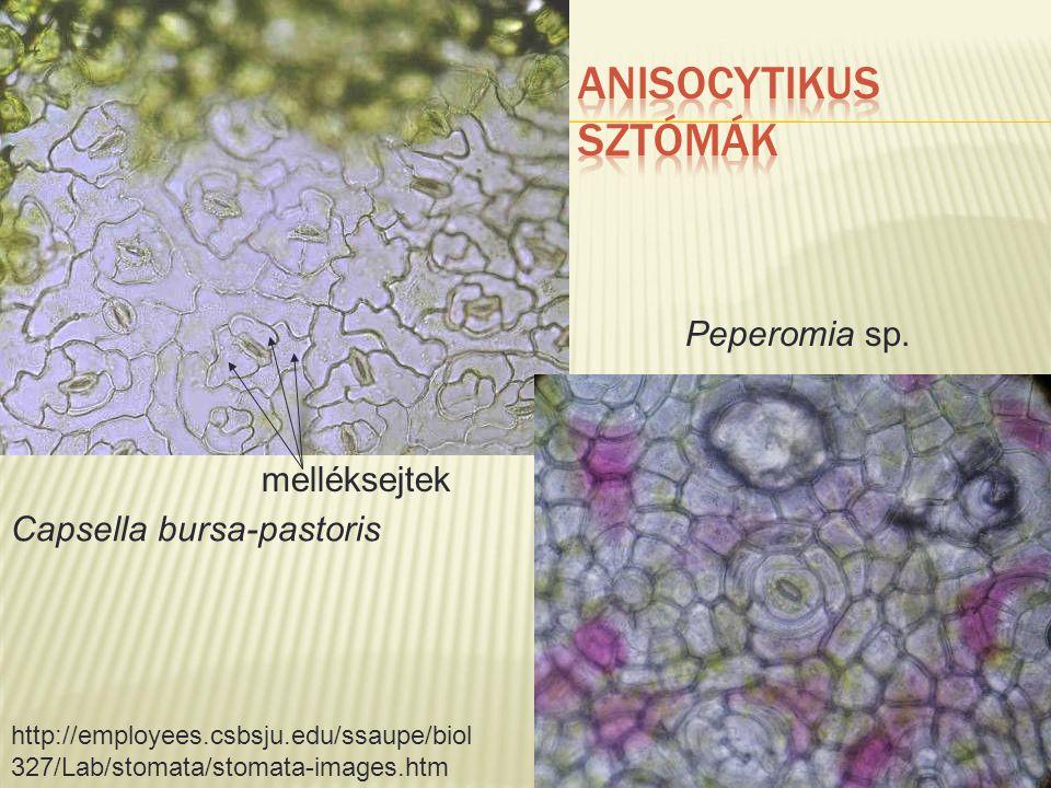 Peperomia sp. Capsella bursa-pastoris http://employees.csbsju.edu/ssaupe/biol 327/Lab/stomata/stomata-images.htm melléksejtek