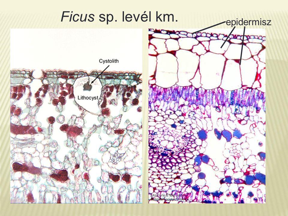 Ficus sp. levél km. epidermisz