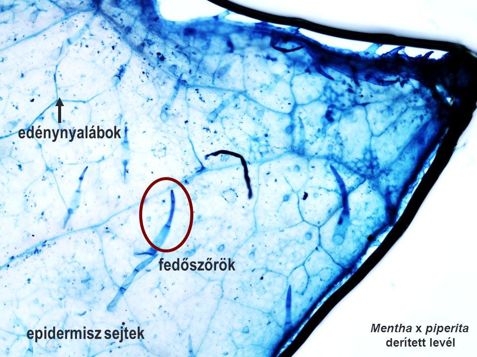 epidermisz sejtek fedőszőrök edénynyalábok Mentha x piperita derített levél