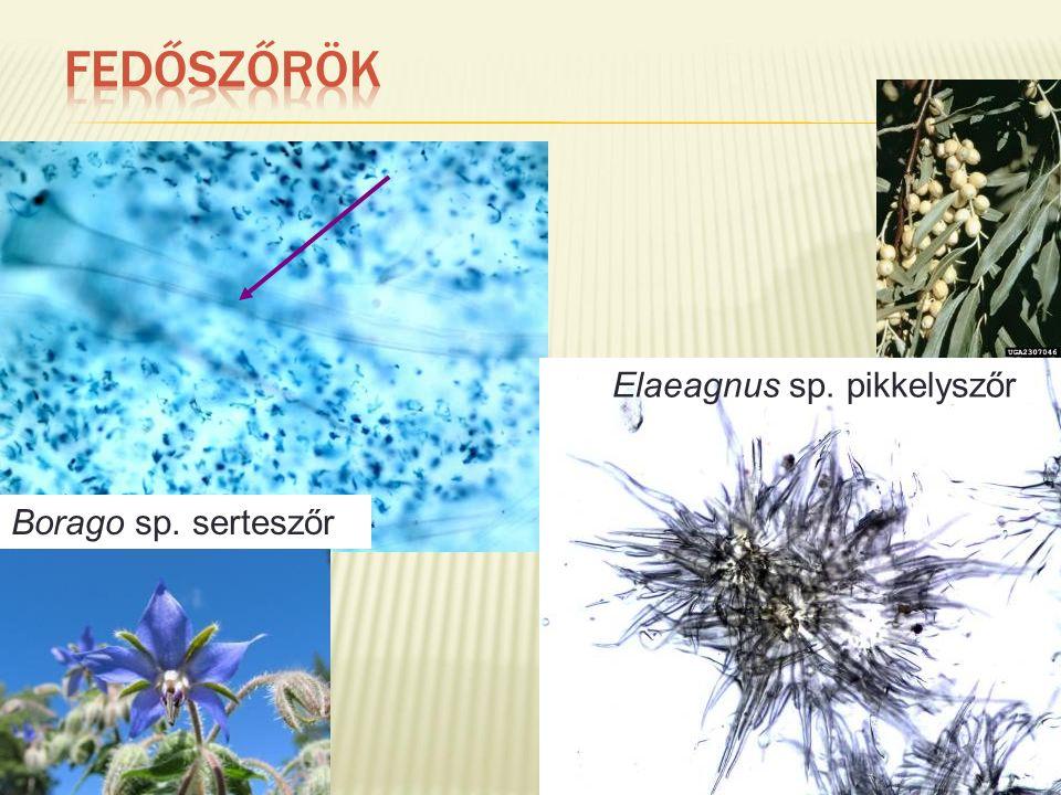 Borago sp. serteszőr Elaeagnus sp. pikkelyszőr