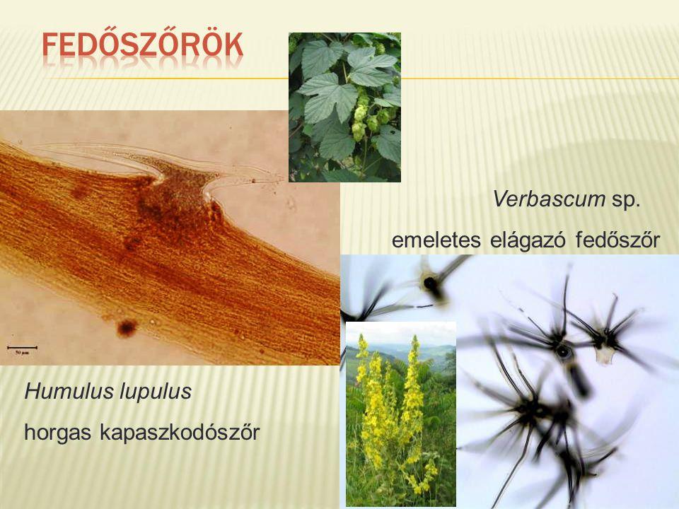 Humulus lupulus horgas kapaszkodószőr Verbascum sp. emeletes elágazó fedőszőr