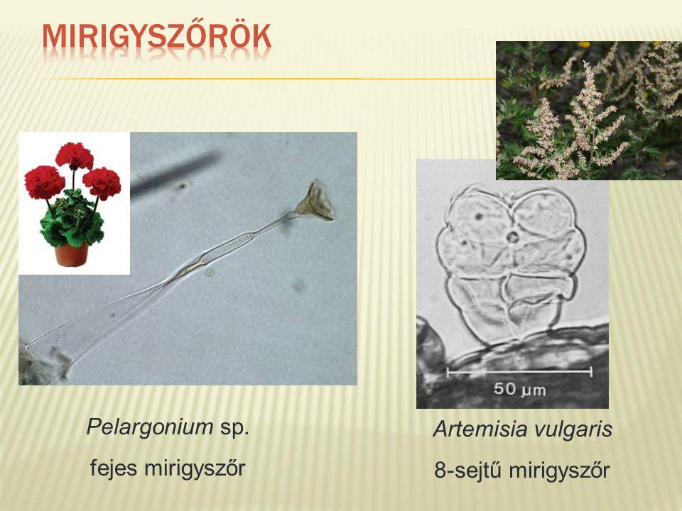 Pelargonium sp. fejes mirigyszőr Artemisia vulgaris 8-sejtű mirigyszőr