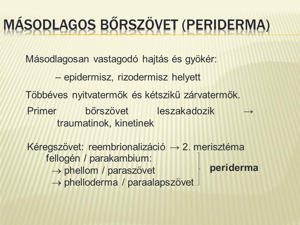Primer bőrszövet leszakadozik → traumatinok, kinetinek Kéregszövet: reembrionalizáció → 2. merisztéma fellogén / parakambium:  phellom / paraszövet 