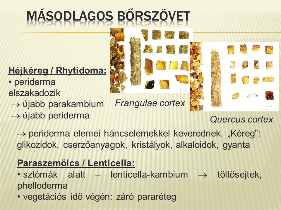 Paraszemölcs / Lenticella: sztómák alatt – lenticella-kambium  töltősejtek, phelloderma vegetációs idő végén: záró pararéteg  periderma elemei háncselemekkel keverednek.