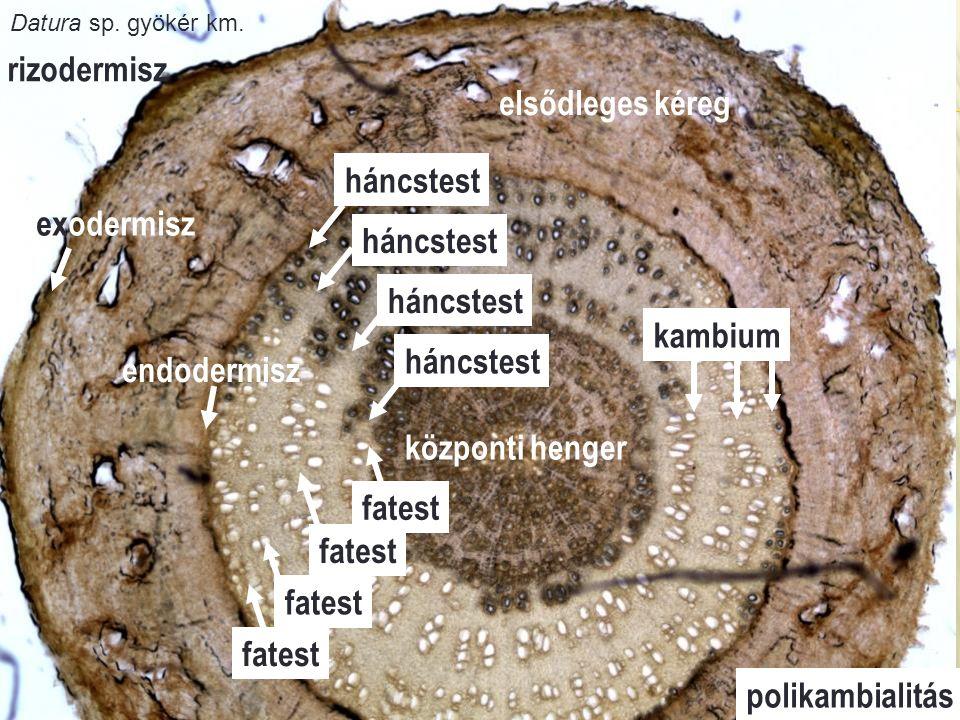 háncstest fatest kambium rizodermisz elsődleges kéreg központi henger háncstest fatest polikambialitás exodermisz endodermisz Datura sp. gyökér km.