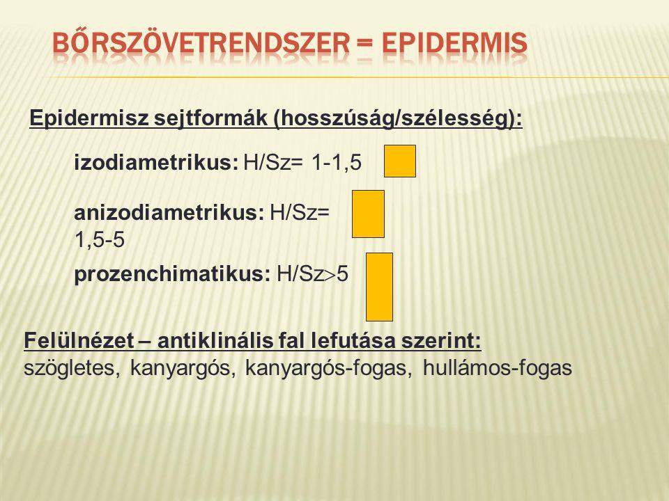 Epidermisz sejtformák (hosszúság/szélesség): Felülnézet – antiklinális fal lefutása szerint: szögletes, kanyargós, kanyargós-fogas, hullámos-fogas izodiametrikus: H/Sz= 1-1,5 anizodiametrikus: H/Sz= 1,5-5 prozenchimatikus: H/Sz  5