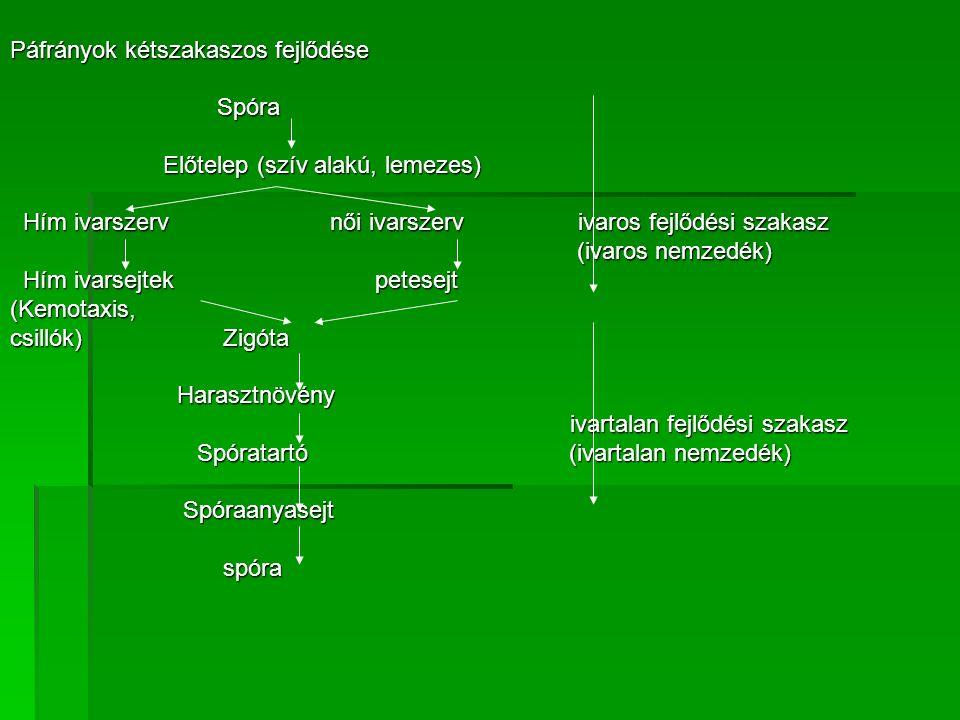 Páfrányok kétszakaszos fejlődése Spóra Spóra Előtelep (szív alakú, lemezes) Előtelep (szív alakú, lemezes) Hím ivarszerv női ivarszerv ivaros fejlődési szakasz Hím ivarszerv női ivarszerv ivaros fejlődési szakasz (ivaros nemzedék) (ivaros nemzedék) Hím ivarsejtek petesejt Hím ivarsejtek petesejt(Kemotaxis, csillók) Zigóta Harasztnövény Harasztnövény ivartalan fejlődési szakasz ivartalan fejlődési szakasz Spóratartó (ivartalan nemzedék) Spóratartó (ivartalan nemzedék) Spóraanyasejt Spóraanyasejt spóra spóra