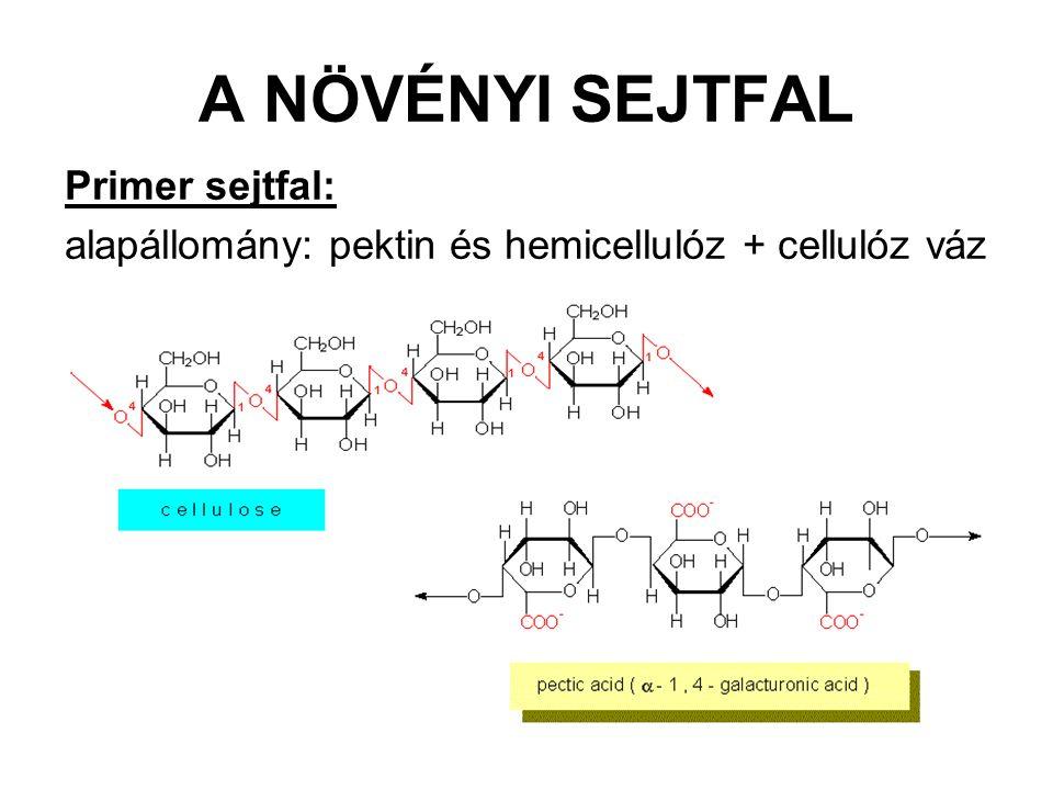 A NÖVÉNYI SEJTFAL Primer sejtfal: alapállomány: pektin és hemicellulóz + cellulóz váz