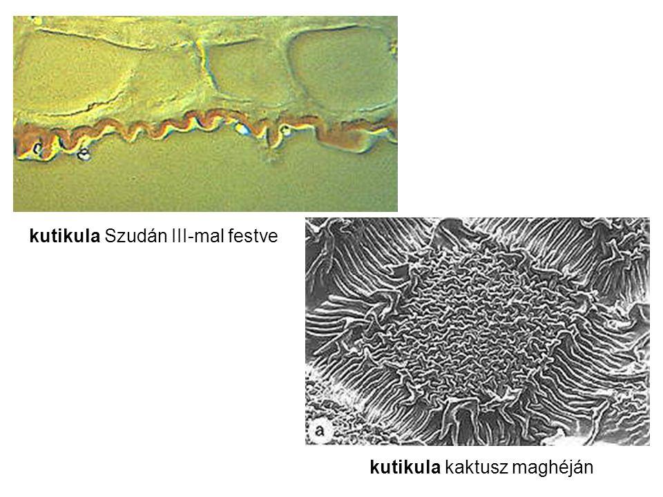 kutikula Szudán III-mal festve kutikula kaktusz maghéján