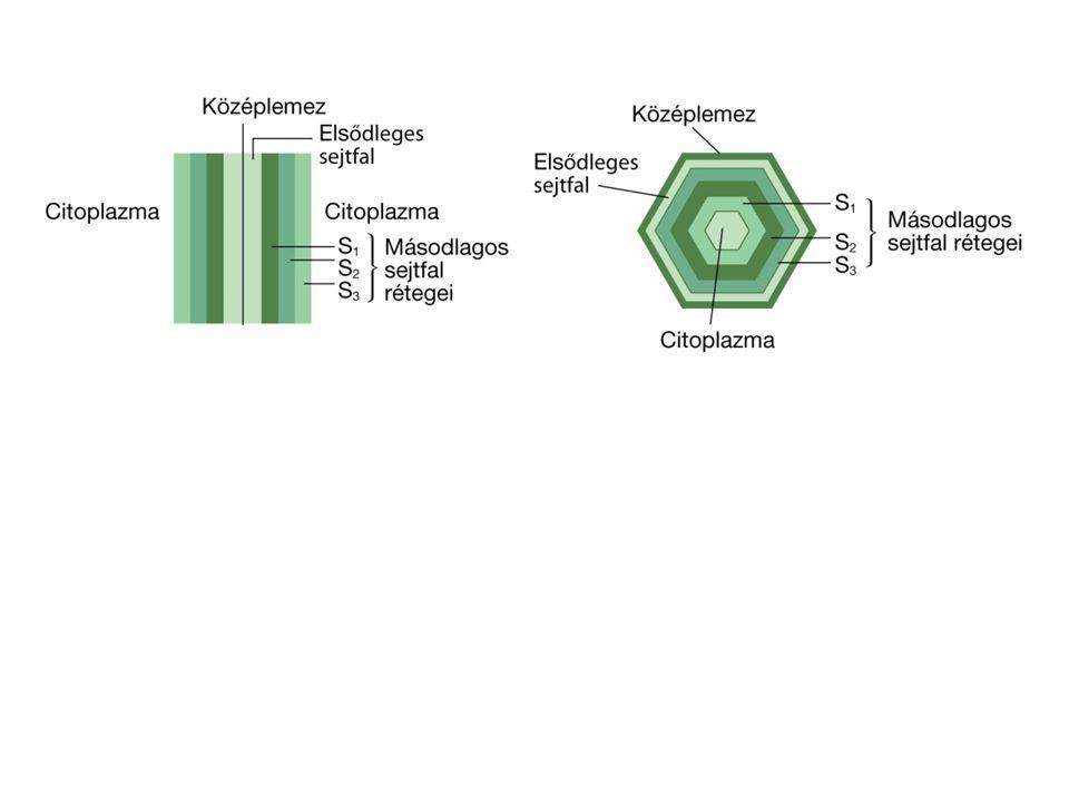 plazmodezmás összeköttetések két sejt között