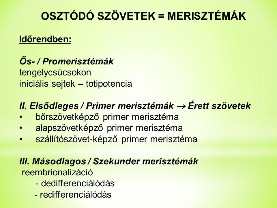 OSZTÓDÓ SZÖVETEK = MERISZTÉMÁK Időrendben: Ős- / Promerisztémák tengelycsúcsokon iniciális sejtek – totipotencia II.