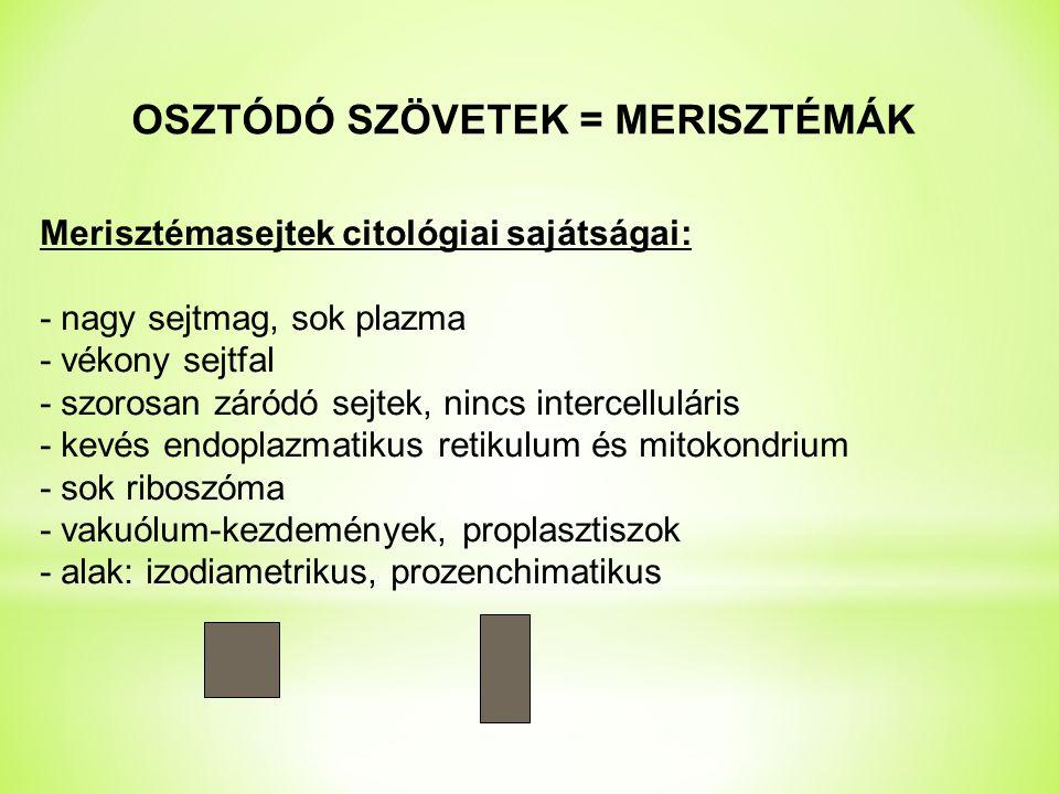 OSZTÓDÓ SZÖVETEK = MERISZTÉMÁK Merisztémasejtek citológiai sajátságai: - nagy sejtmag, sok plazma - vékony sejtfal - szorosan záródó sejtek, nincs intercelluláris - kevés endoplazmatikus retikulum és mitokondrium - sok riboszóma - vakuólum-kezdemények, proplasztiszok - alak: izodiametrikus, prozenchimatikus