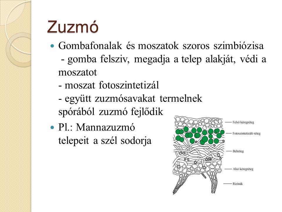 Zuzmó Gombafonalak és moszatok szoros szimbiózisa - gomba felsziv, megadja a telep alakját, védi a moszatot - moszat fotoszintetizál - együtt zuzmósavakat termelnek spórából zuzmó fejlődik Pl.: Mannazuzmó telepeit a szél sodorja